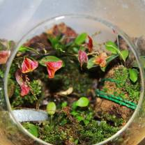Three Lepanthes Orchids Grown in Glass Orb (1)