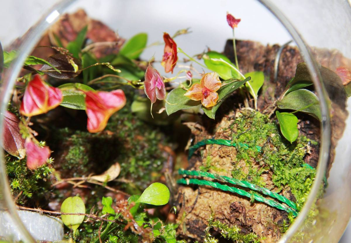 Three Lepanthes Orchids Grown in Glass Orb (2)