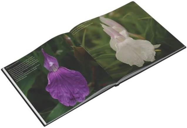 Framed Himalaya Roscoea purpurea & White Mutant