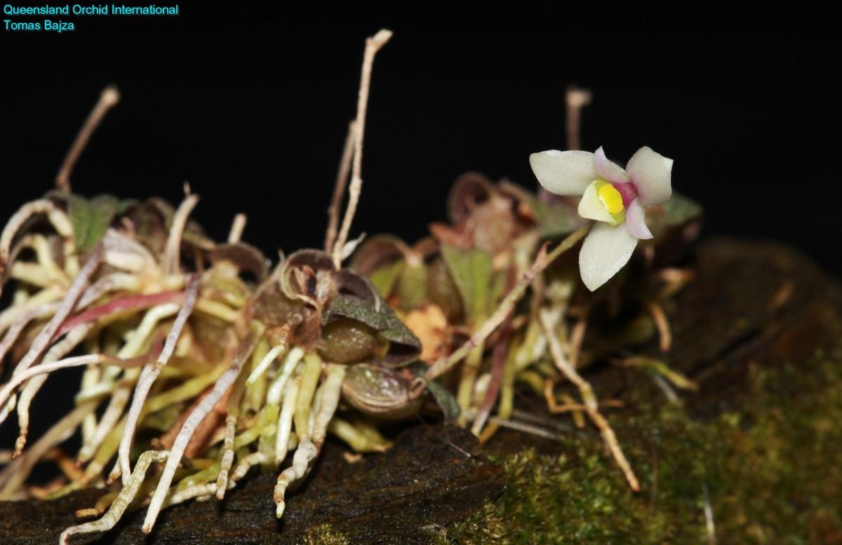 Constantia microscopica (1)