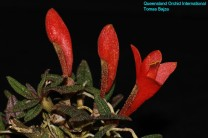 Dendrobium cuthbertsonii (1)
