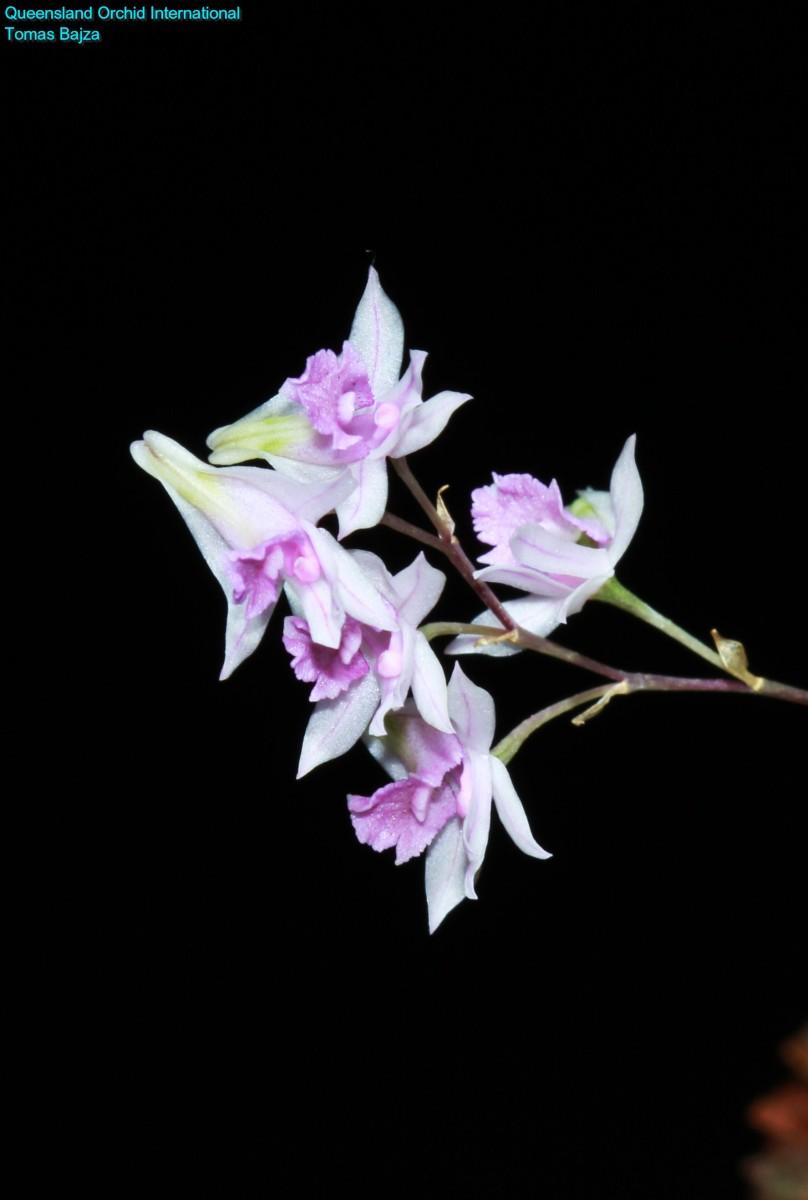 Dendrobium garrettii (1)