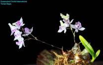 Dendrobium garrettii (2)