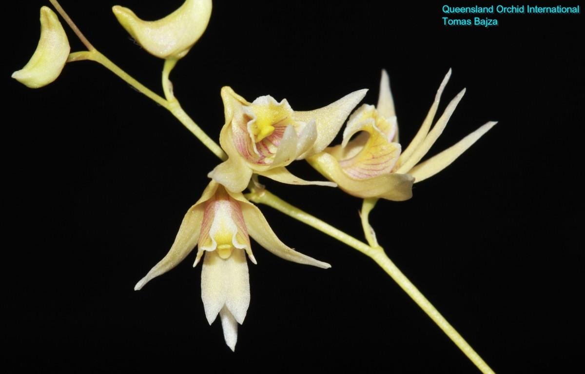 Dendrobium gregulus (1)