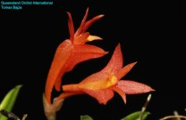 Dendrobium subacaule (1)