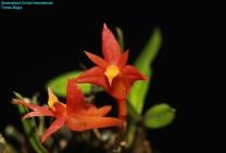Dendrobium subacaule (2)
