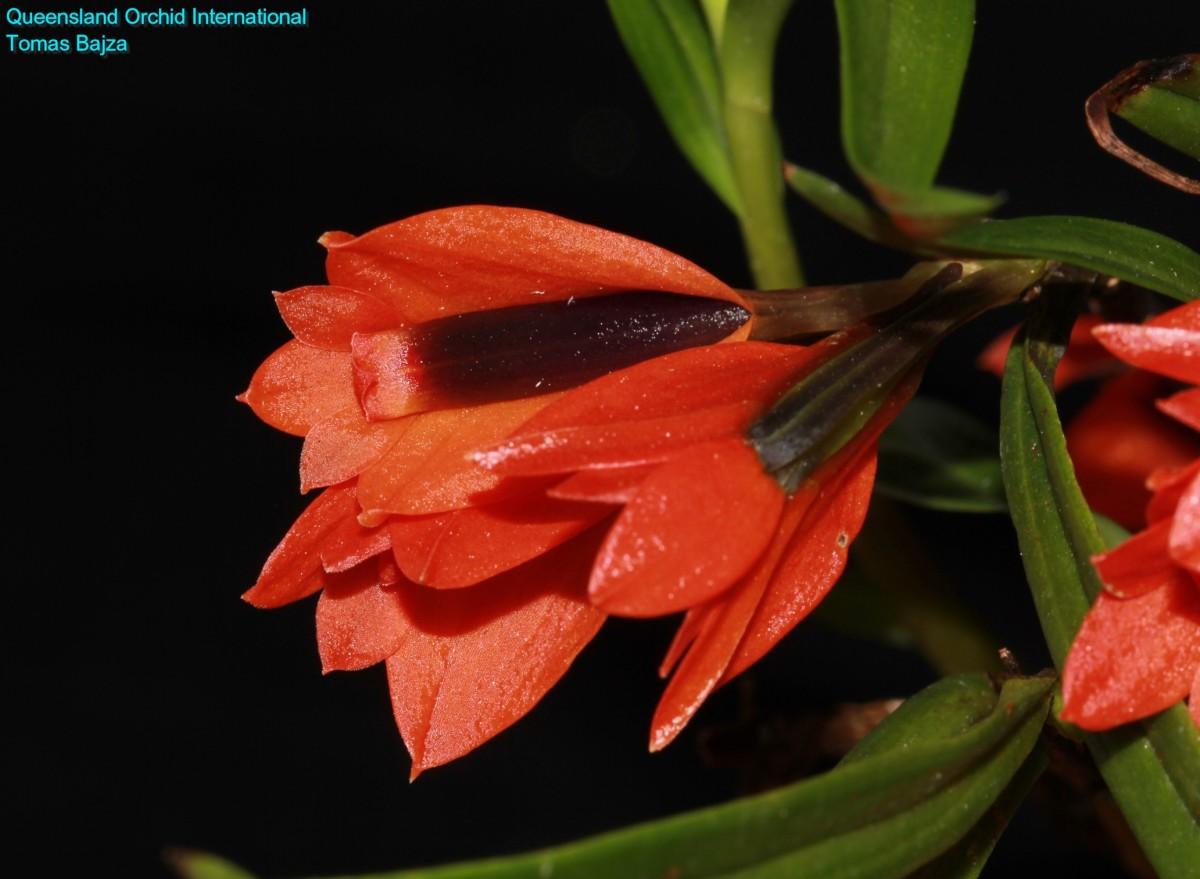 Dendrobium vexillarius red (2)