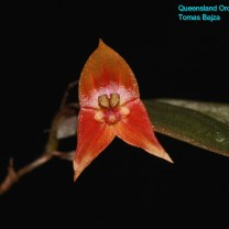 Lepanthes niesseniae (2)