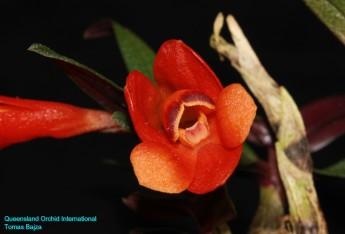 Dendrobium cuthbertsonii (3)