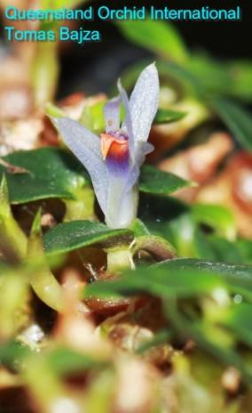 Dendrobium parvulum blue (1)