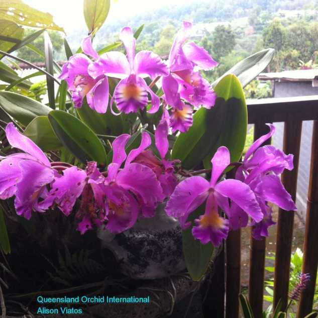 Cattleya as Deco in Local Restaurant