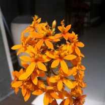 Epidendrum Orchid (2)