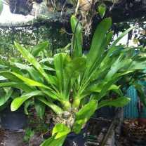Grammatophyllum scriptum (1)