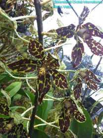 Grammatophyllum scriptum (2)