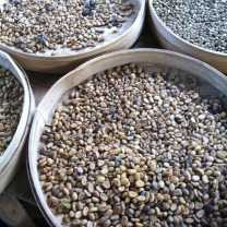 Luwak Coffee Production at Bali (2)