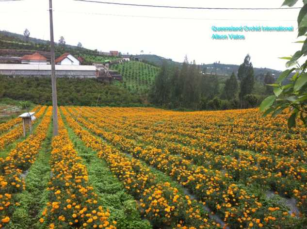 Marigold Crop for Temple Decoration or Offering