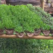 Nursery Seedlings Growing in Bamboo Troughs