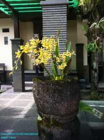 Oncidium Intergeneric Orchid (1)
