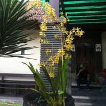 Oncidium Intergeneric Orchid (2)