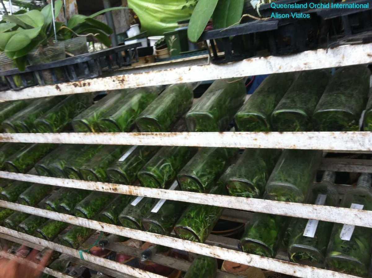 Orchid Flasks at Sanur, Bali (1)