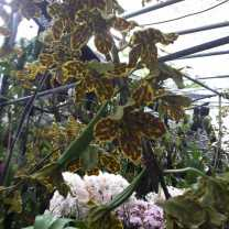 Orchid Nursery at Sanur, Bali (13)