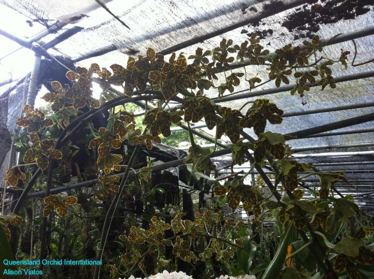 Orchid Nursery at Sanur, Bali (14)
