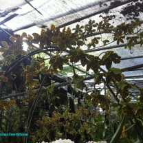 Orchid Nursery at Sanur, Bali (14)