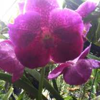 Orchid Nursery at Sanur, Bali (18)