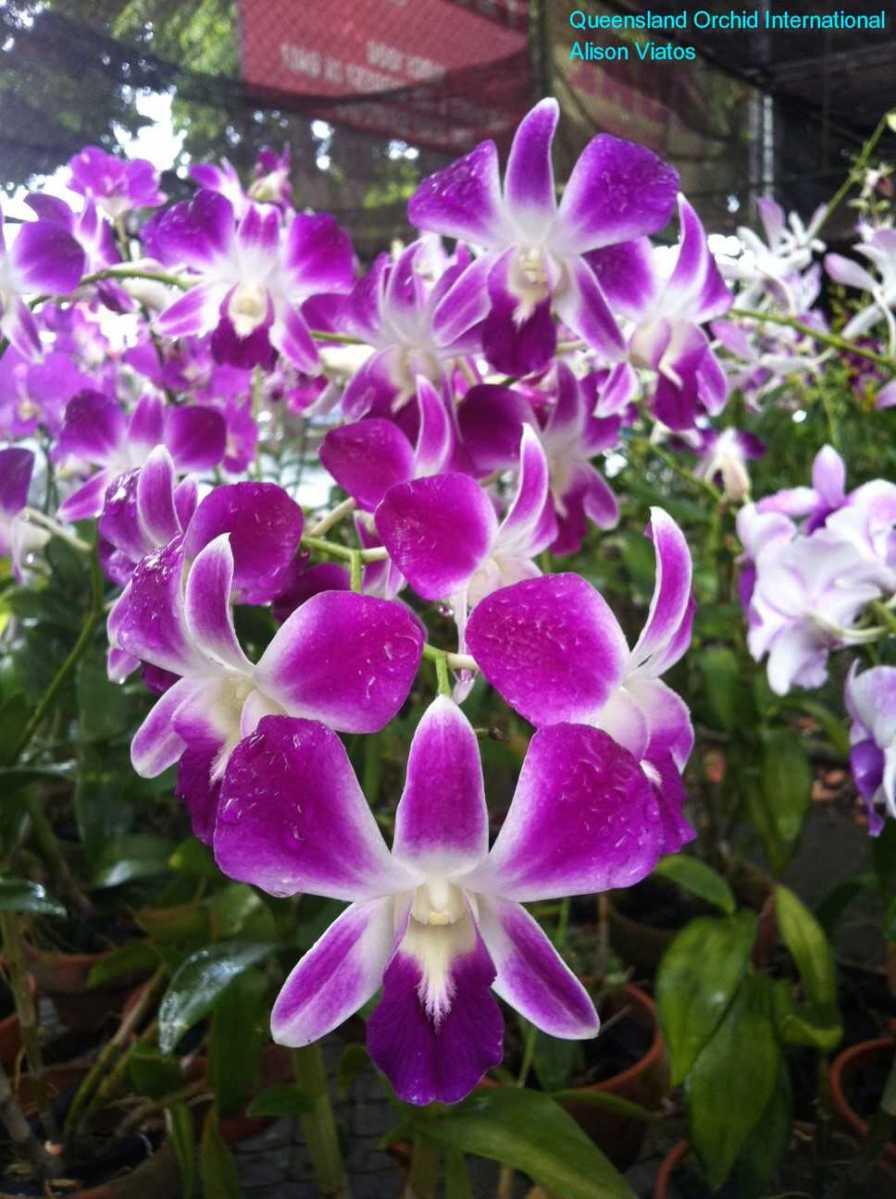 Orchid Nursery at Sanur, Bali (2)