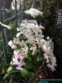 Orchid Nursery at Sanur, Bali (24)