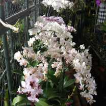 Orchid Nursery at Sanur, Bali (24)