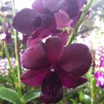 Orchid Nursery at Sanur, Bali (3)