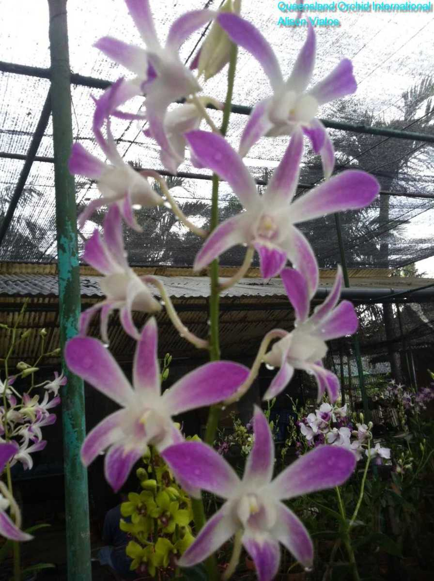 Orchid Nursery at Sanur, Bali (4)