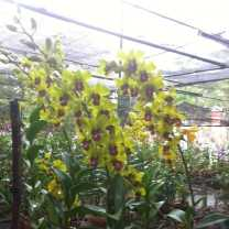 Orchid Nursery at Sanur, Bali (8)