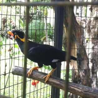 Related to Australia's Indian Myna