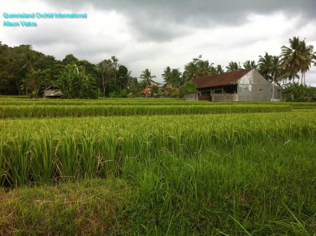 Rice Growing (1)