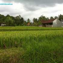Rice Growing (1)