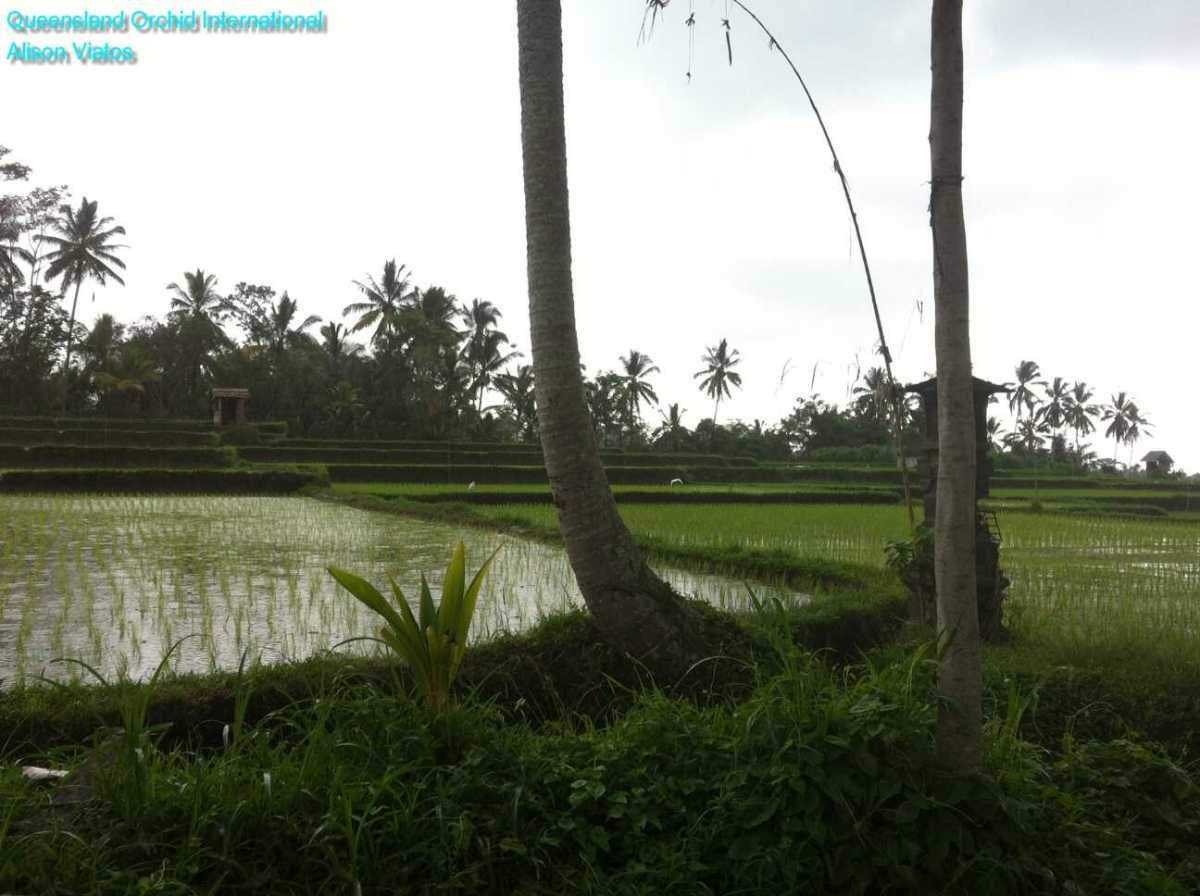 Rice Growing (3)