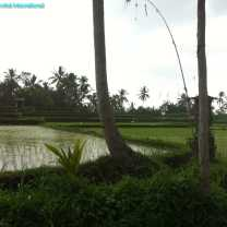 Rice Growing (3)