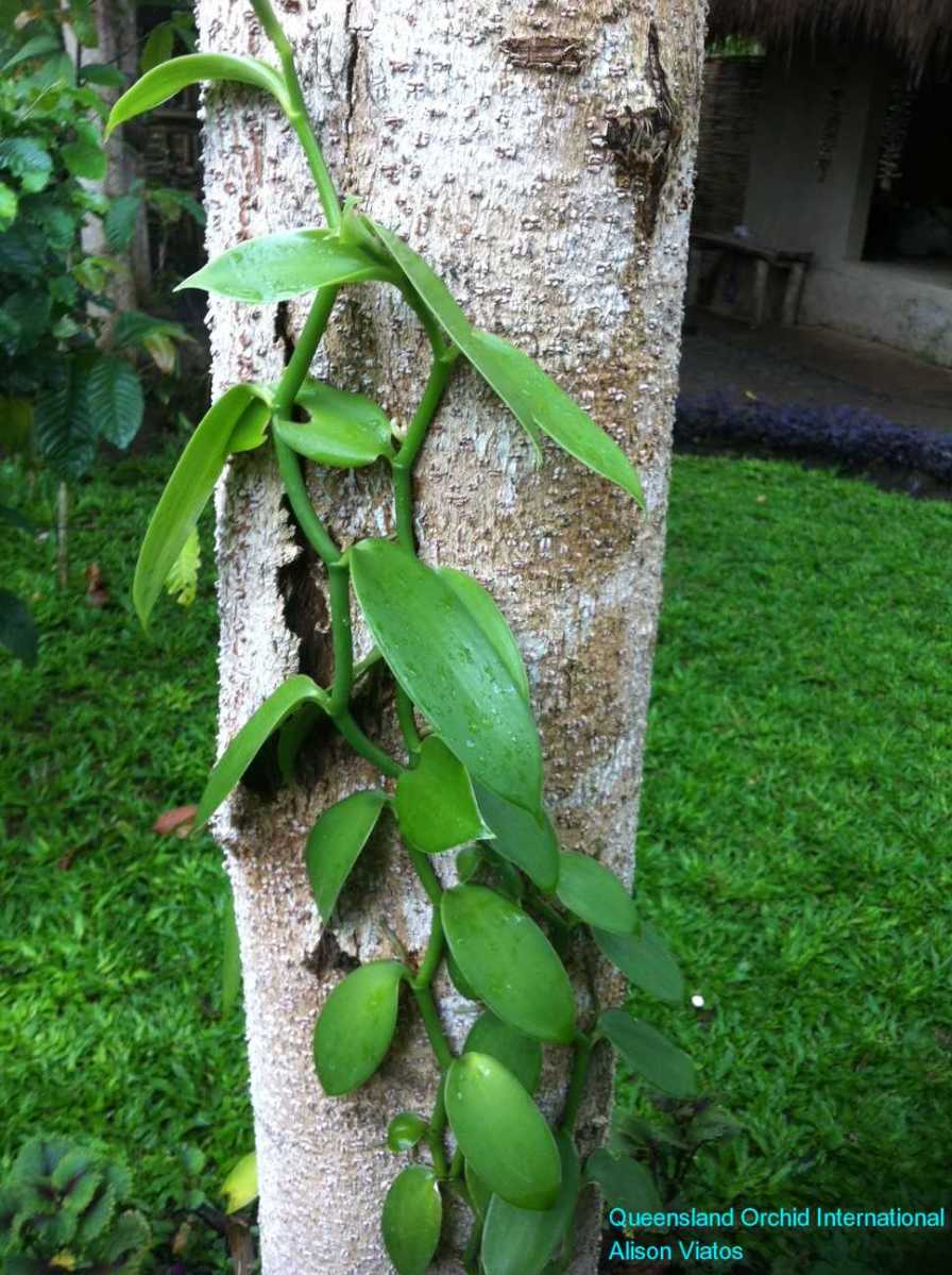 Vanilla Growing (1)