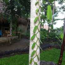 Vanilla Growing (2)