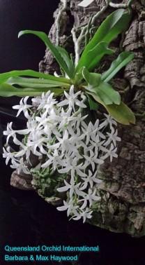 Mystacidium capense 'Nasarka' in 2015 (1)