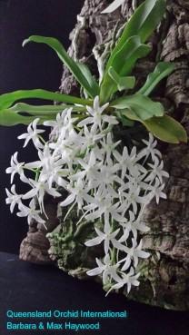 Mystacidium capense 'Nasarka' in 2015 (2)