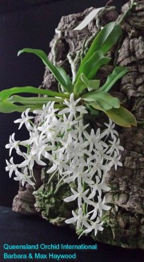 Mystacidium capense 'Nasarka' in 2015 (3)