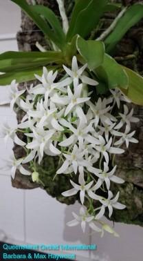 Mystacidium capense 'Nasarka' in 2015 (5)