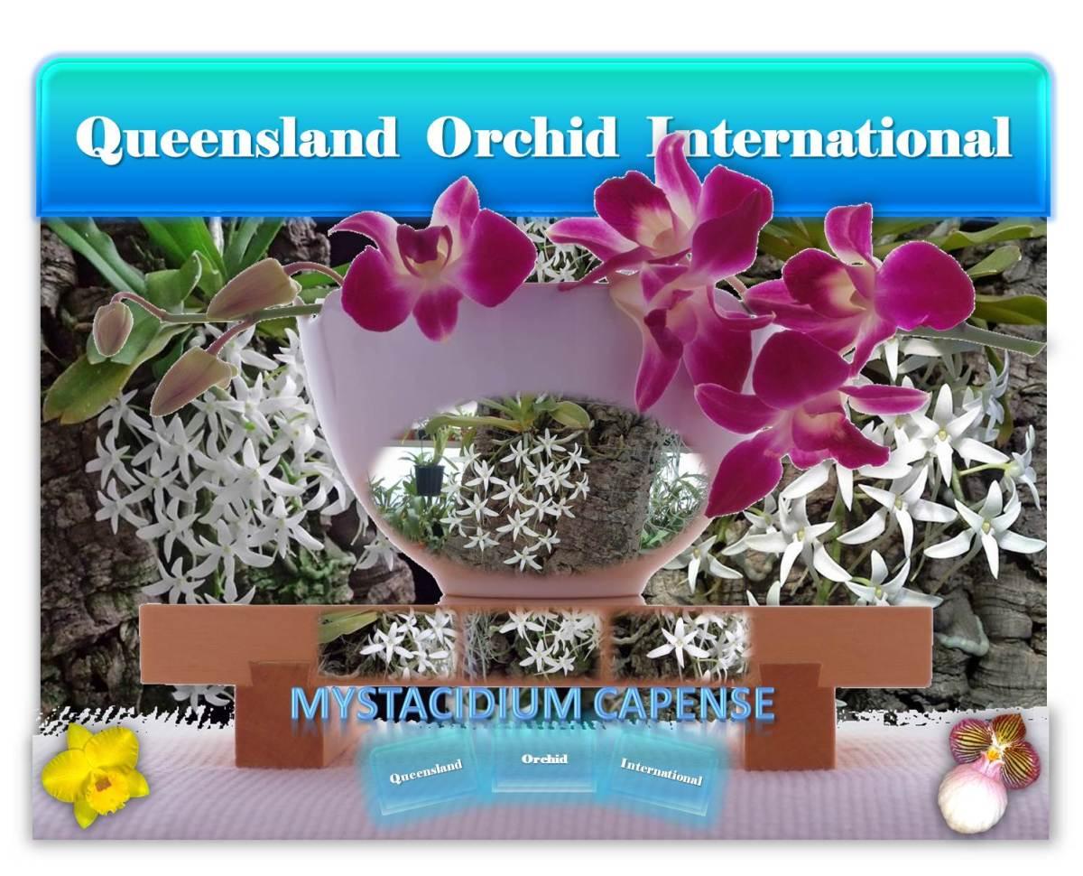 Queensland Orchid International Mystacidium capense