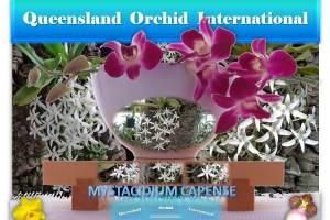 Queensland Orchid International Mystacidium capense
