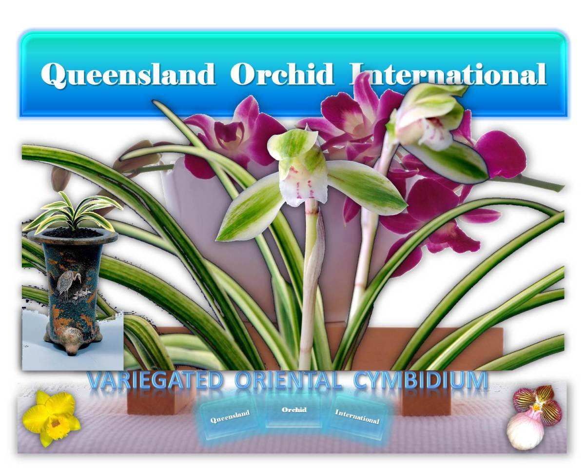Variegated Oriental Cymbidiums 🌏🏯🎎🙏🌸💮