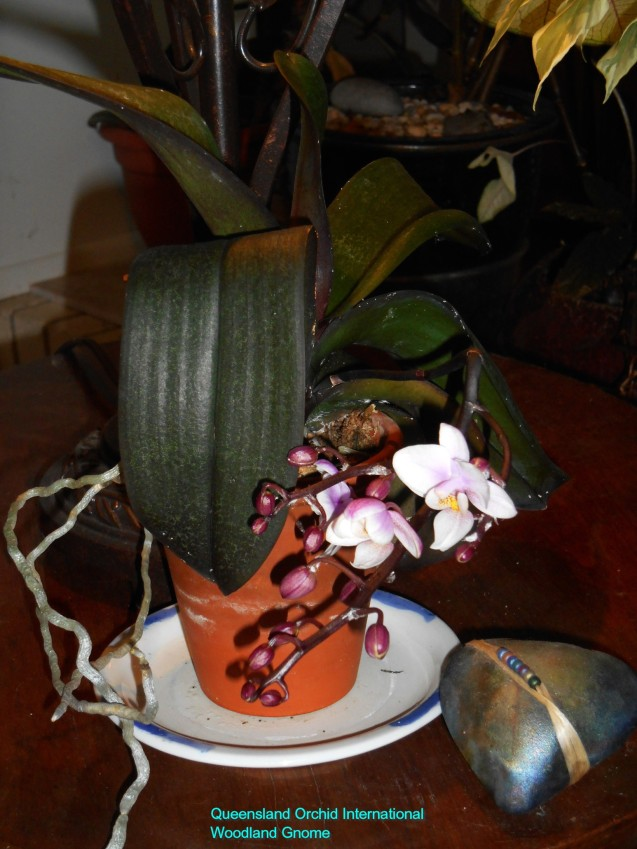 january-28-Phalaenopsis-005