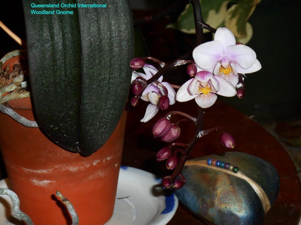 january-28-Phalaenopsis-006